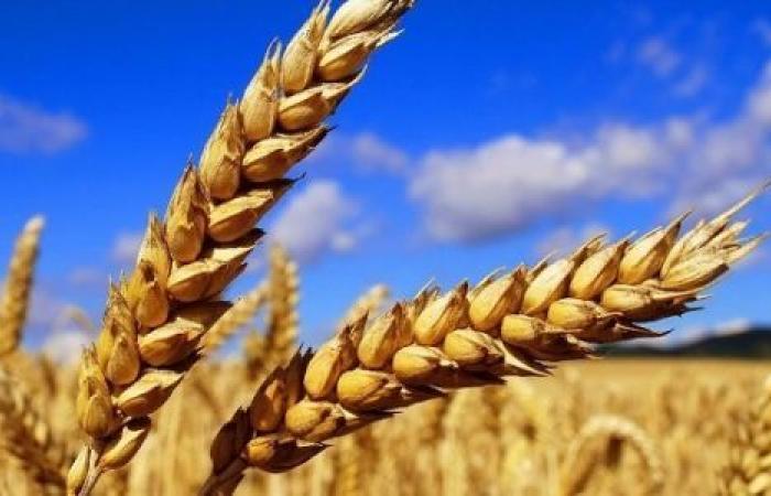 بعد تراجع مساحته 13% .. خبراء: 4 مشاكل تهدد زراعة القمح فى مصر