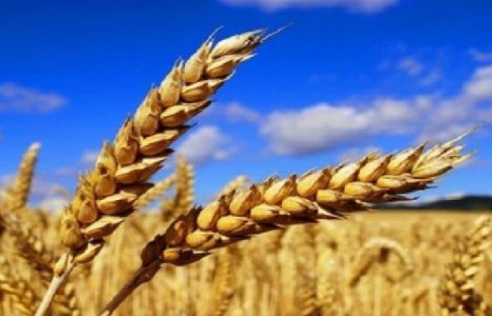 فيديو  مصر في المقدمة.. معدل إنتاج الدول العربية من القمح