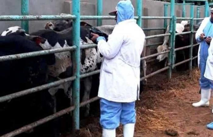 المصري اليوم - اخبار مصر- «بيطري الشرقية»: فحص ٣٧٢٤ رأس ماشية ضد البروسيلا والسل البقري موجز نيوز