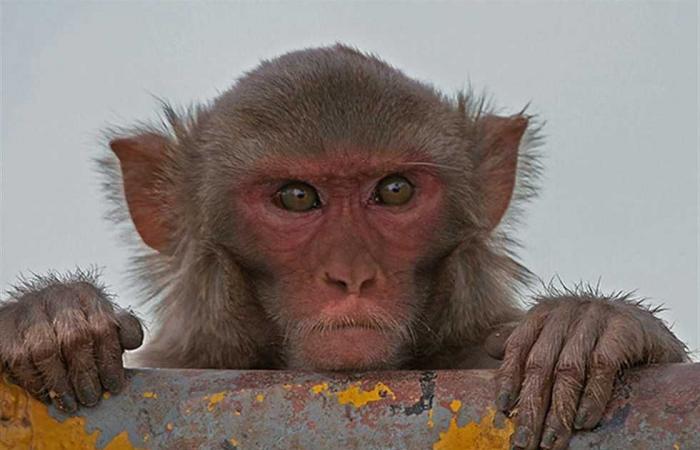 #المصري اليوم -#اخبار العالم - دراسة جديدة تكشف أساليب القرود في السرقة والمقايضة: تستهدف المقتنيات الثمينة موجز نيوز