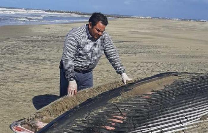 المصري اليوم - اخبار مصر- العثور على أنثى حوت نافقة بالقرب من مزرعة غليون بكفرالشيخ (صور) موجز نيوز