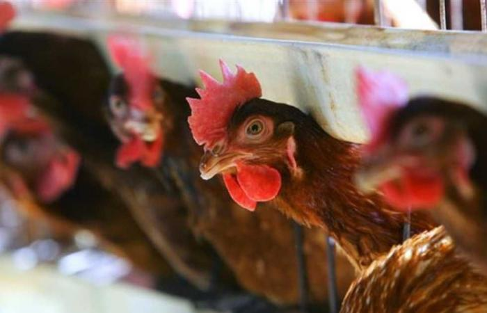 #المصري اليوم -#اخبار العالم - إيران تعدم 1.4 مليون دجاجة بسبب تفشي أنفلونزا الطيور موجز نيوز