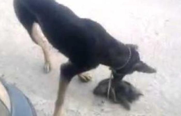 #اليوم السابع - #حوادث - اتخاذ الإجراءات القانونية ضد صاحب كلب افترس قطة