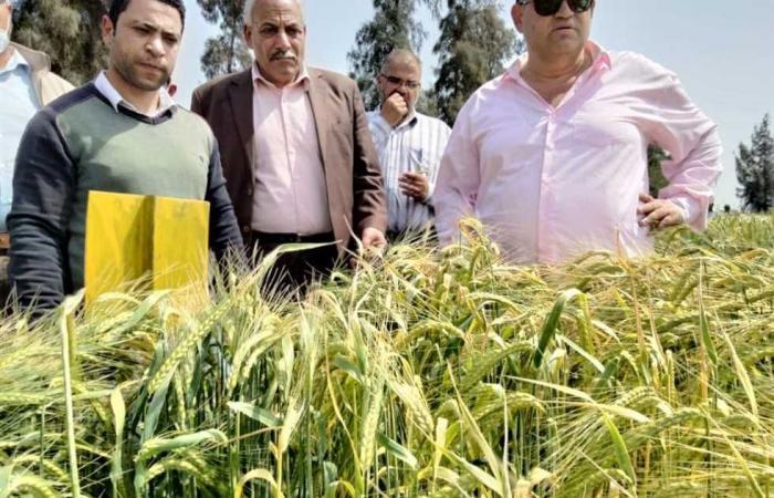 المصري اليوم - اخبار مصر- «المحاصيل الحقلية» ينظم ورشة عمل للنهوض بـ«القمح» في محطة بحوث الجميزة بالغربية موجز نيوز